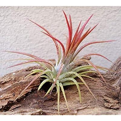 1-1.5 Inch Mini Air Plants Tillandsia Ionantha Fuego - CSR23 : Garden & Outdoor