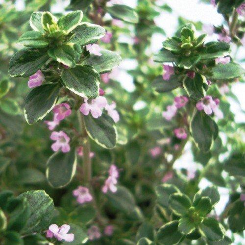 Bio Silberthymian Kräuterpflanze LÀBiO! Kräuter