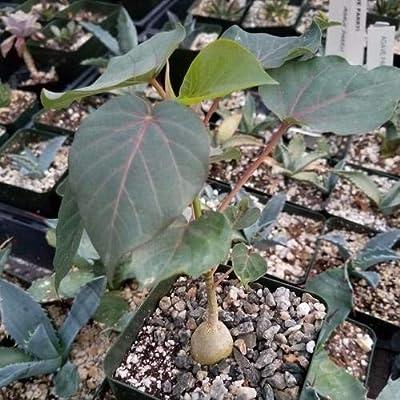 Ficus petiolaris fig Rock : Garden & Outdoor