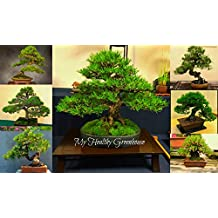 SEEDS - Japanese Black Pine Bonsai Tree – Easy to Grow and Maintain! Dwarf