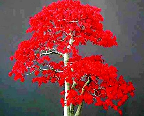 100% True Japanese Red Maple Bonsai Tree Cheap Seeds, Professional Pack, 20 Seeds / Pack, Very Beautiful Indoor Tree ()