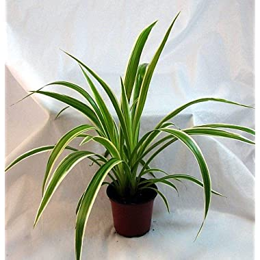 Ocean Spider Plant - Easy to Grow - Cleans the Air - NEW - 4  Pot