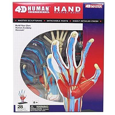Tedco Human Anatomy - Hand Model: Toys & Games