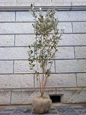 フェイジョア (品種指定不可) 樹高1.8~2.0m前後 (根鉢含まず) 果樹 B01MU0E3ZZ