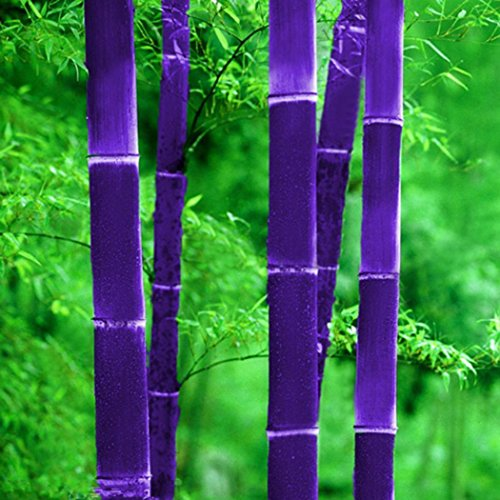 - Qenci Seeds- Potted Plant Bonsai of Garden Plants Bamboo Seeds 20Pcs