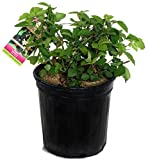 Rubus 'Chester' (Thornless Raspberry) Edible-Shrub, blackberry, #2 - Size Container