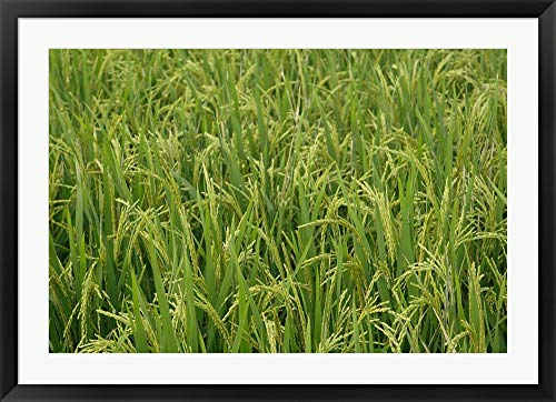 - Agriculture, Rice Field, Near Guilin, China by Adam Jones/Danita Delimont Framed Art Print Wall Picture, Black Frame, 40 x 29 inches