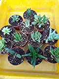 "Haworthia Collection 8 Plants - Easy to Grow/hard to Kill - 3"" Pot From Jmbamboo"