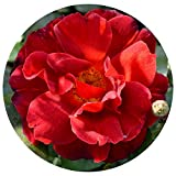 Hot Cocoa Rose Bush | Own Root Rose Floribunda 4 Inch Container Potted | Lovely Chocolate Colored Flowers