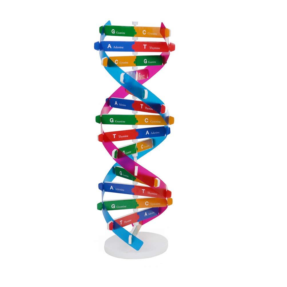 NUOBESTY Kit de Modelo de ADN para Niños Genes Modelos de ADN Doble Hélice Divulgación Científica Ayuda Didáctica