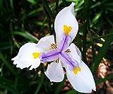 Dietes iridioides | Cape Iris | 50_Seeds