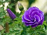 Alyogyne huegelii BLUE HIBISCUS 10 seeds