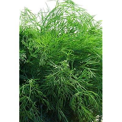 Seeds Organic Dill Lesnogorodsky. All-Season Original from Ukraine 3 Gram : Garden & Outdoor