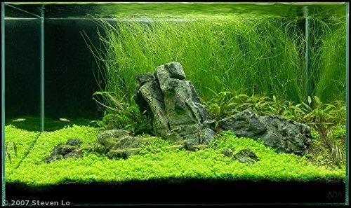 Aqua Forest Aquarium Eleocharis vivipara - AFA