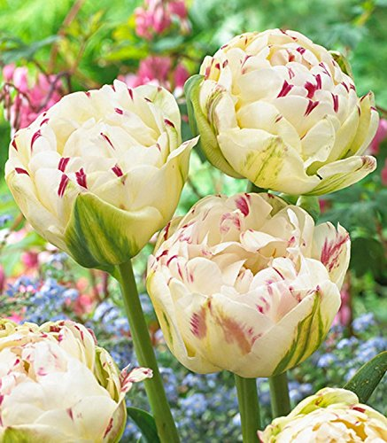 (10 Tulip DANCELINE-Select Collection-Double Peony Heads- Plant for Spring-Plant with Daffodil,Crocus,SNOWDROP10/12cm)