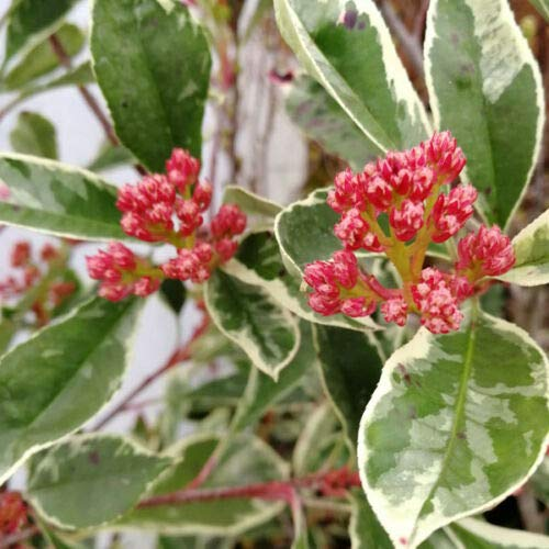 Photinia x fraseri Pink Marble fotinia variegata pianta da siepe alta 80-100 cm
