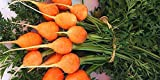 buy David's Garden Seeds Carrot Parisian PC7722 (Orange) 500 Non-GMO, Heirloom Seeds now, new 2020-2019 bestseller, review and Photo, best price $6.95