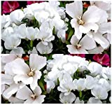 3000 x DWARF WHITE CLARKIA GODETIA - DWARF WHITE Flower Seeds excellent cut flower - EXCELLENT COLORFUL BORDER OR CUT FLOWER - By MySeeds.Co