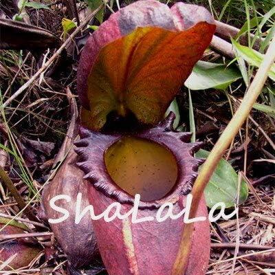 7: Neue Eine Packung 50 Stücke Seltene Nepenthes Samen Blumensamen Fliegenfalle Balkon Topf Bonsai Pflanzen Samen Bonsai Fleischfressende Pflanzen Samen