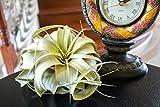 3 Tillandsia Xerographica Air Plants |Live