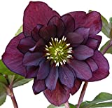 Purple Christmas Rose 10 Seeds -Helleborus-Shade
