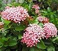 Plantsworld Ixora Dwarf Pink Live Plant