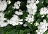 David's Garden Seeds Flower Ageratum Dondo White E114DFGE (White) 500 Open Pollinated Seeds