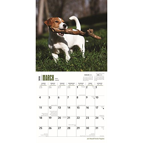Jack Russell Terrier Puppies 2018 Small Wall Calendar Photo #2