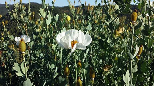 Go Garden Matilija Poppy Seeds Romneya Coulteri Fried Egg Plant 100+ Seeds - One Fried Egg