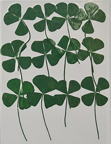 HANDI-KAFU Four Leaf Clover with branch real pressed dried -