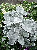 """DUSTY MILLER SILVER DUST Live Plant - 2 Live Plants Fit 4"""" Pot"""