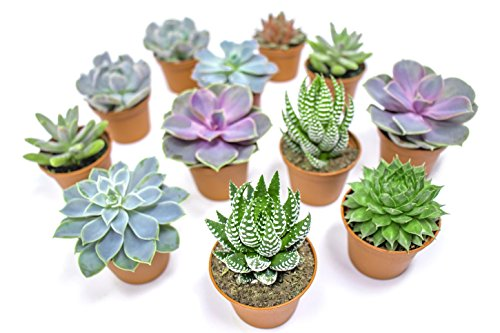 Succulent Plants (12 Pack) Fully Rooted in Planter Pots with Soil | Real Live Potted Succulents / Unique Indoor Cactus Decor by Plants for Pets by Plants for Pets