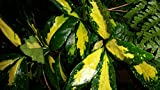 1 gallon-'ACUBA Picturata ('Aucuba japonica), large golden SPLASH in the middle of each leaf, with small yellow speckles against the green background. Remains Green Year-Round