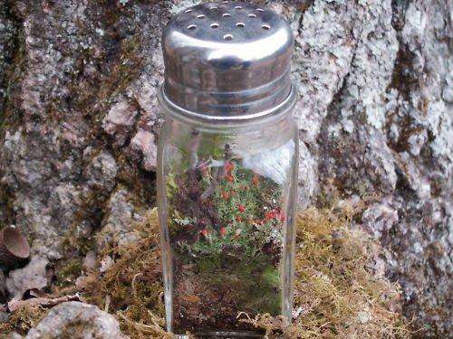Buy Appalachian Emporium's DIY Mini Terrarium Shaker Kit Live British Soldier Lichen dispense