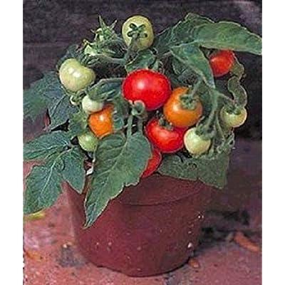 Organic 25 Micro Tom Tomato Seeds Worlds Smallest Tomato Plant : Garden & Outdoor