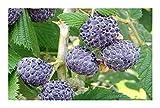Rubus leucodermis - Blue Raspberry - 10 Seeds