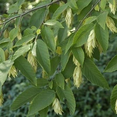 Ironwood Hophornbeam Tree Seeds (Ostrya virginiana) 120+Seeds : Garden & Outdoor [5Bkhe0401755]
