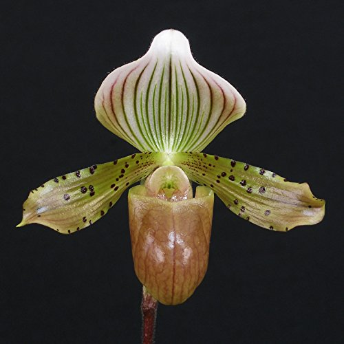 PAPH. LIVING DESERT X PAPH. TONSUM by Carter and Holmes Orchids