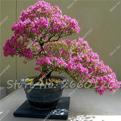 AGROBITS 20 PC//Beutel Japanische Azalee Rhododendron Azaleen Stauden Blumen Garten Bonsai-Baum-DIY Pflanze Hausgarten Gelb