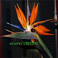 Strelitzia Reginae Seeds Flowers Pots Planters All Sorts of Color Hybrid Bird Paradise Bonsai Plants Seeds 100Pcs