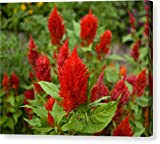 """Super Celosia Plumosa Flowers Celosia"" by National Geographic, Canvas Print Wall Art, 14"" x 11"", Mirrored Gallery Wrap, Glossy Finish"