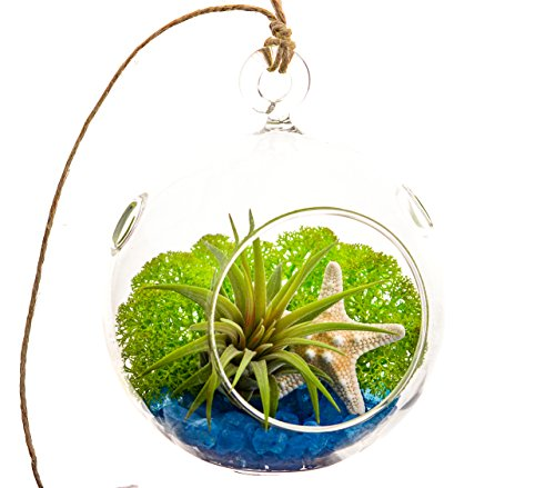 Air Plant Terrarium with Blue Rocks, Moss and Starfish 4 Round Glass