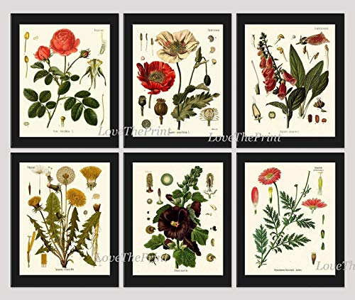 - Botanical Flower Print Set of 6 Art Prints Antique Beautiful Red Rose Poppy Large Black Hollyhock Dandelion Spring Summer Garden Home Room Wall Decor Unframed KOH