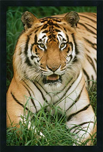 - Framed Canvas Wall Art Print | Home Wall Decor Canvas Art | Bengal Tiger Portrait, Hilo Zoo, Hawaii, Native to India and Southeast Asia by Gerry Ellis | Modern Decor | Stretched Canvas Prints
