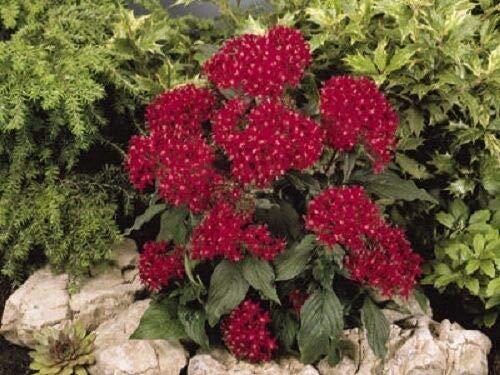 (25 Pelleted Seeds Pentas Kaleidoscope Deep Red Pentas Seeds (Star Flower))