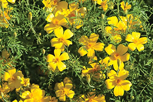 David's Garden Seeds Flower Marigold Lemon Gem SL1112 (Yellow) 500 Non-GMO, Open Pollinated Seeds