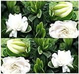 10 Cape Jasmine Shrub, Gardenia Flower Seeds ~ Showy Fragrant Flowers Evergreen