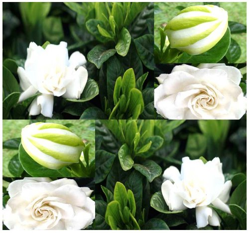 4 Packs x 10 Cape Jasmine Shrub - Gardenia Flower Seeds ~ Showy Fragrant Flowers Evergreen - Great For Indoor or Outdoor In ZONE 8-11 - By MySeeds.Co (Jasmine Cape Gardenia)