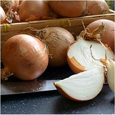 Package of 450 Seeds, Utah Yellow Sweet Spanish Onion (Allium cepa) Non-GMO Seeds by Seed Needs