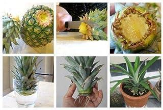 PLAT FIRM SEMI DI GERMINAZIONE: NEU! 2 Birne-Frucht-Ananas comosus Maissamen Gelb Thaïlande seltener Artikel
